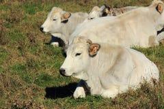 Άσπρη αγελάδα Romagna Στοκ φωτογραφία με δικαίωμα ελεύθερης χρήσης