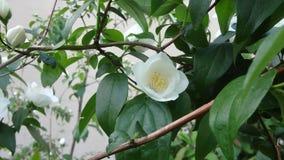 Άσπρη αγνότητα λουλουδιών Στοκ εικόνα με δικαίωμα ελεύθερης χρήσης