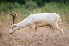 Άσπρη αγρανάπαυση Buck Στοκ Εικόνες