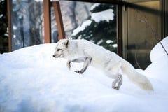 Άσπρη αλεπού χιονιού στην Ιαπωνία Στοκ Φωτογραφίες