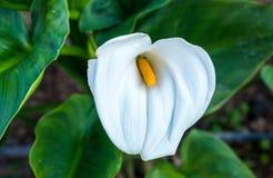 Άσπρη ανάπτυξη κρίνων arum σε έναν κήπο άνωθεν στοκ εικόνα με δικαίωμα ελεύθερης χρήσης