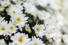 Άσπρη ανθοδέσμη λουλουδιών χρυσάνθεμων κινηματογραφήσεων σε πρώτο πλάνο Στοκ Φωτογραφία