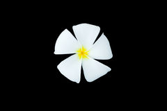 Άσπρη απομόνωση Plumeria στο μαύρο υπόβαθρο Στοκ εικόνες με δικαίωμα ελεύθερης χρήσης