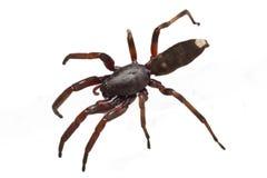 Άσπρη αράχνη ακρών Στοκ εικόνα με δικαίωμα ελεύθερης χρήσης