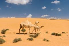 Άσπρη αραβική καμήλα με foal στην έρημο, Μαρόκο Στοκ φωτογραφία με δικαίωμα ελεύθερης χρήσης
