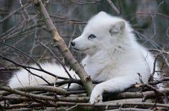 Άσπρη αρκτική αλεπού Στοκ εικόνα με δικαίωμα ελεύθερης χρήσης