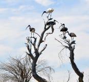 Άσπρη αυστραλιανή θρεσκιόρνιθα με τις άχυρο-Necked θρεσκιόρνιθες στις κορυφές δέντρων Στοκ φωτογραφία με δικαίωμα ελεύθερης χρήσης