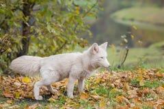 Άσπρη αλεπού στο δάσος φθινοπώρου Στοκ εικόνα με δικαίωμα ελεύθερης χρήσης
