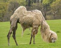 Άσπρη βακτριανή καμήλα Στοκ Φωτογραφίες