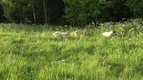Άσπρη βοσκή αιγών στον τομέα Λίγη αίγα στην αλυσίδα Αίγα μητέρων με την αίγα, δύο αίγες απόθεμα βίντεο