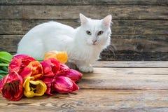 Άσπρη γάτα ανκορά Στοκ Εικόνα