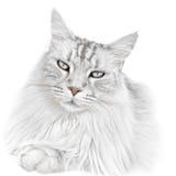 Άσπρη γάτα γατακιών Στοκ Εικόνες