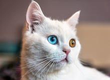 Άσπρη γάτα με διαφορετικό eyes1 στοκ εικόνες με δικαίωμα ελεύθερης χρήσης