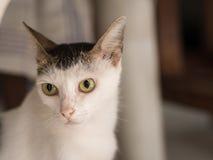 Άσπρη γάτα με πρωταγωνιστή σοβαρά Στοκ φωτογραφίες με δικαίωμα ελεύθερης χρήσης