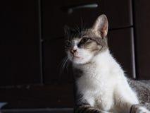 Άσπρη γάτα με πρωταγωνιστή σοβαρά Στοκ Εικόνες