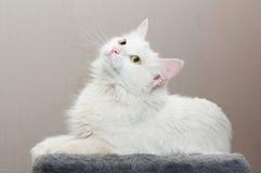 Άσπρη γάτα με τα κίτρινα μάτια Στοκ Φωτογραφίες