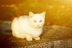 Άσπρη γάτα με τα κίτρινα μάτια Στοκ Εικόνες