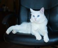 Άσπρη γάτα με τα μπλε μάτια Στοκ Φωτογραφία
