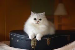 Άσπρη γάτα με την κιθάρα Στοκ φωτογραφία με δικαίωμα ελεύθερης χρήσης
