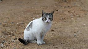 Άσπρη γάτα, γάτα οδών στο χωριό, απόθεμα βίντεο
