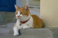 Άσπρη γάτα πιπεροριζών Στοκ Φωτογραφίες