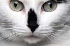 Άσπρη γάτα πορτρέτου κινηματογραφήσεων σε πρώτο πλάνο με τη μαύρη μύτη στοκ φωτογραφία με δικαίωμα ελεύθερης χρήσης