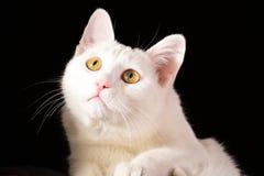 Άσπρη γάτα που κοιτάζει επάνω στην κινηματογράφηση σε πρώτο πλάνο στο μαύρο υπόβαθρο Στοκ Φωτογραφίες