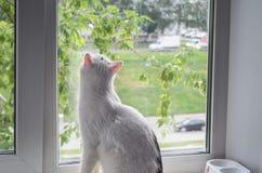 Άσπρη γάτα που φαίνεται έξω το παράθυρο σε μια θερινή βροχή Στοκ Εικόνα