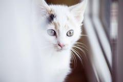Άσπρη γάτα που φαίνεται έξω το παράθυρο στο σπίτι Στοκ Εικόνες