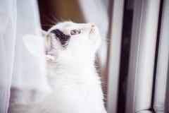 Άσπρη γάτα που φαίνεται έξω το παράθυρο στο σπίτι Στοκ φωτογραφία με δικαίωμα ελεύθερης χρήσης