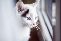 Άσπρη γάτα που φαίνεται έξω το παράθυρο στο σπίτι Στοκ Φωτογραφίες