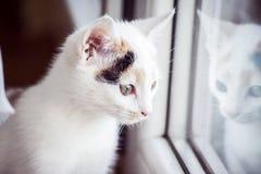Άσπρη γάτα που φαίνεται έξω το παράθυρο στο σπίτι Στοκ Φωτογραφία