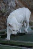 Άσπρη γάτα που ψάχνει τα τρόφιμα στην άκρη ενός dumpster στοκ φωτογραφία