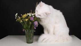 Άσπρη γάτα στον πίνακα που τρώει τα λουλούδια απόθεμα βίντεο