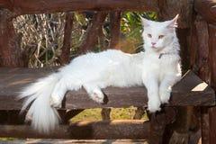 Άσπρη γάτα του Μαίην Coon στον πάγκο Στοκ Φωτογραφία