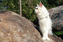 Άσπρη γάτα του Μαίην Coon στο βράχο Στοκ Φωτογραφία