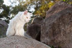 Άσπρη γάτα του Μαίην Coon στο βράχο Στοκ φωτογραφία με δικαίωμα ελεύθερης χρήσης