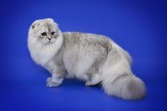 Άσπρη γάτα τσιντσιλά σε ένα μπλε υπόβαθρο Στοκ Εικόνες