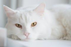 Άσπρη γάτα Στοκ φωτογραφία με δικαίωμα ελεύθερης χρήσης