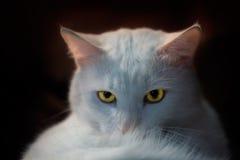 Άσπρη γάτα Στοκ εικόνες με δικαίωμα ελεύθερης χρήσης