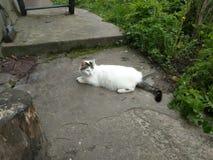 Άσπρη γάτα! Στοκ Εικόνες