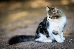 Άσπρη γκρίζα γάτα με τα πράσινα μάτια Στοκ Εικόνα