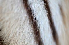 Άσπρη γούνα τιγρών της Βεγγάλης Στοκ Φωτογραφία