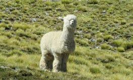 Άσπρη γούνινη προβατοκάμηλος στο πράσινο λιβάδι στοκ εικόνες