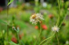 Άσπρη γύρη του λουλουδιού χλόης Στοκ Φωτογραφίες