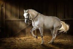 Άσπρη εκπαίδευση αλόγου σε περιστροφές αλόγων Στοκ εικόνες με δικαίωμα ελεύθερης χρήσης