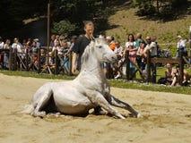 Άσπρη εκπαίδευση αλόγου σε περιστροφές συνεδρίασης αλόγων Στοκ φωτογραφία με δικαίωμα ελεύθερης χρήσης