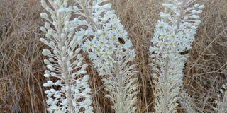 Άσπρη επάνθιση του κοινών καλαμαριού και των μελισσών Στοκ φωτογραφία με δικαίωμα ελεύθερης χρήσης