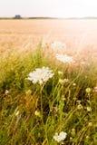 Άσπρη επάνθιση του carota Daucus άγριων εγκαταστάσεων, άγριο καρότο στον τομέα Ουγγαρία Κάθετη φωτογραφία Στοκ Εικόνες