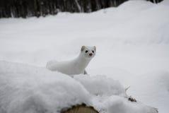 Άσπρη ερμίνα Στοκ φωτογραφία με δικαίωμα ελεύθερης χρήσης